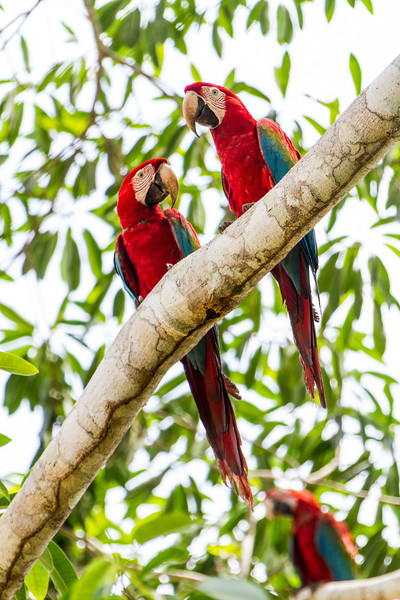 Macaw parrots perching on branch - Peru