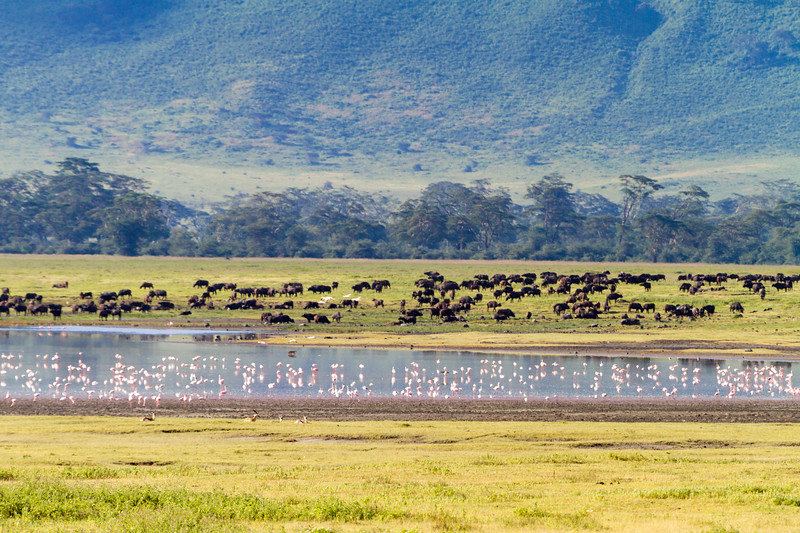 African buffalos and Flamingos at Ngorongoro conservation area - East Africa - Tanzania