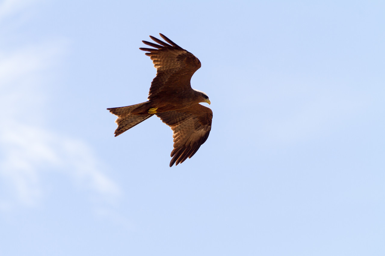 Eagle flying against sky - East Africa - Tanzania