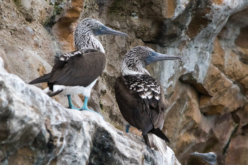 A pair of blue-footed boobies sit on the rocks of the Pearl Island of Panama