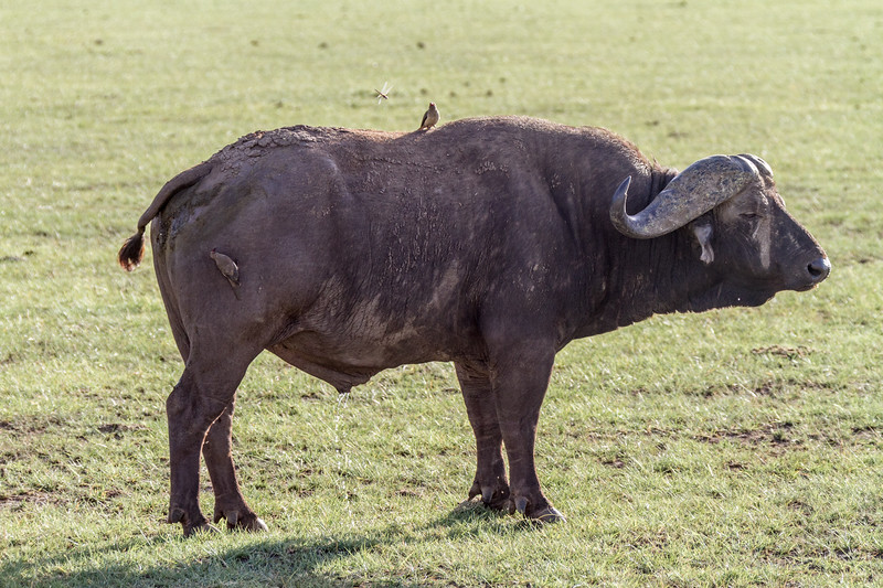 African buffalo standing on grass - East Africa - Tanzania