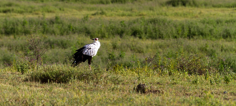 Secretary bird in grassland - East Africa - Tanzania