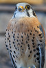 An American Kestrel (Falco sparverius) at the Columbia Gorge Discovery Center, The Dalles, Oregon, USA