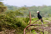 Silvery-cheeked hornbill perching on tree - East Africa - Tanzania