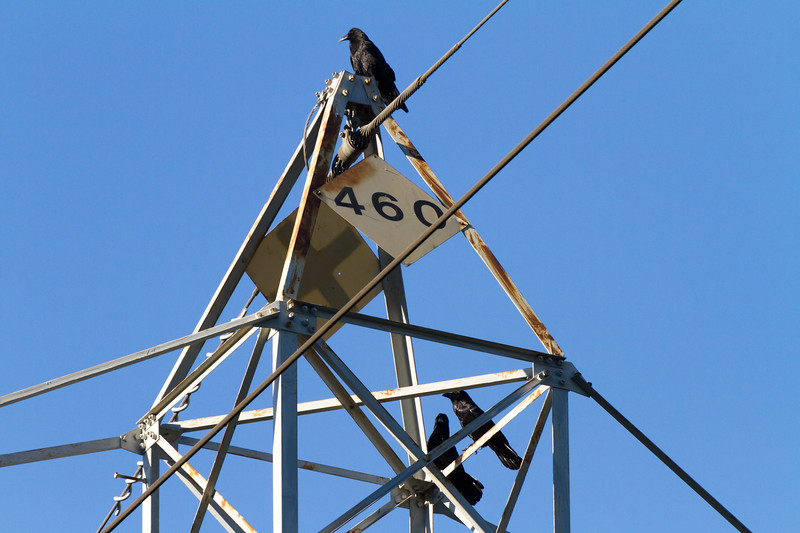 Crows sitting on power line - USA - California