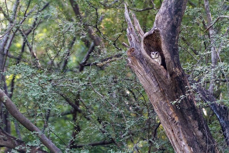 Owl sitting in nest - India