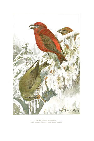 American Red Crossbill