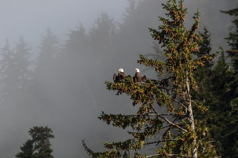 A wide shot of a pair of bald eagles sunning themselves in a fir tree in Alaska with fog in the background