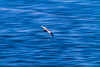A pelican in flight is captured with a blurred background of the Gulf Of California, Mexico