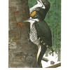 Black-Backed Three Toed Woodpecker
