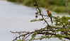 White-fronted bee-eater perching on tree - East Africa - Tanzania