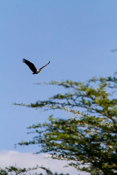 Bird flying against sky - East Africa - Tanzania