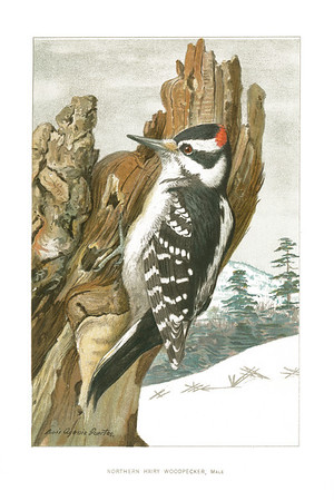 Northern Hairy Woodpecker, Male