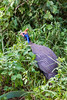Helmeted Guinea Fowl perching on grass - East Africa - Tanzania