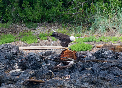 A bald eagle defecates (poops) on a rocky shore of Alaska before taking to the sky