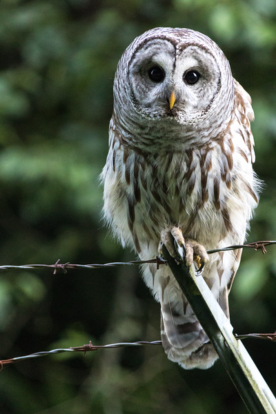 An barred owl sits atop a barbed wire fence
