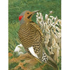 Flicker, Male
