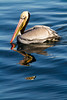 Pelican reflected in blue water, California