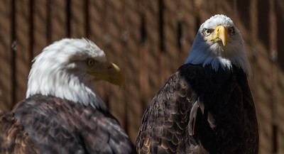 Captive Injured Bald Eagles At Rehabilitation Center, The Dalles, Oregon, USA