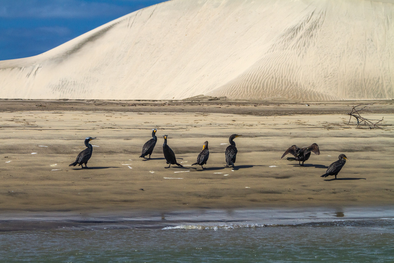 Double-crested Cormorant sitting near sand dune - Mexico