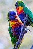 Close-up of lorikeet - Australia