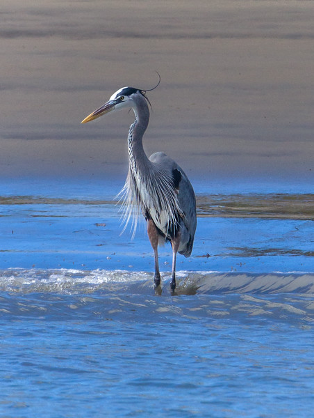Heron standing in water - Mexico