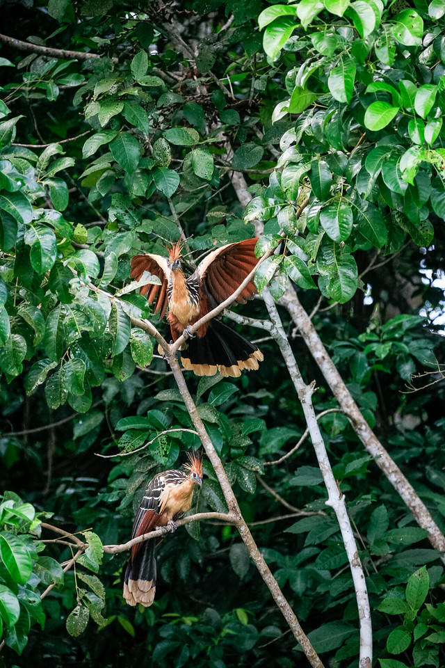 Hoatzin perching on tree - Peru