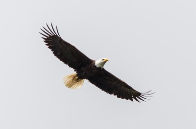 A soaring bald eagle looks straight ahead