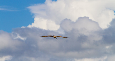 Eagle flying against cloudy sky - East Africa - Tanzania