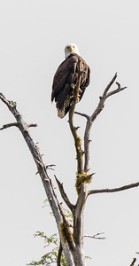 A bald eagle perches on a dead branch high overhead.