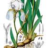 Iris Florentina<br /> <br /> Atlas der officinellen Pflanzen : Darstellung und Beschreibung der im Arzneibuche für das Deutsche Reich erwähnten Gewächse / von O.C. Berg und C.F. Schmidt.