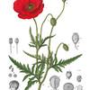 Papaver Rhoeas<br /> <br /> Atlas der officinellen Pflanzen : Darstellung und Beschreibung der im Arzneibuche für das Deutsche Reich erwähnten Gewächse / von O.C. Berg und C.F. Schmidt.