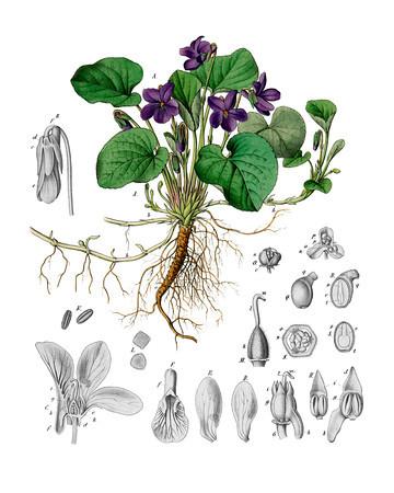Viola odorata<br /> <br /> Atlas der officinellen Pflanzen : Darstellung und Beschreibung der im Arzneibuche für das Deutsche Reich erwähnten Gewächse / von O.C. Berg und C.F. Schmidt.