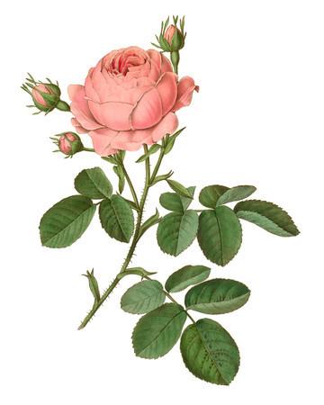 Rosa centifolia<br /> <br /> Atlas der officinellen Pflanzen : Darstellung und Beschreibung der im Arzneibuche für das Deutsche Reich erwähnten Gewächse / von O.C. Berg und C.F. Schmidt.