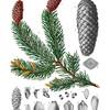 Picea excelsa<br /> <br /> Atlas der officinellen Pflanzen : Darstellung und Beschreibung der im Arzneibuche für das Deutsche Reich erwähnten Gewächse / von O.C. Berg und C.F. Schmidt.