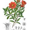 Punica Granatum<br /> <br /> Atlas der officinellen Pflanzen : Darstellung und Beschreibung der im Arzneibuche für das Deutsche Reich erwähnten Gewächse / von O.C. Berg und C.F. Schmidt.