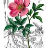 Paeonia peregrina<br /> <br /> Atlas der officinellen Pflanzen : Darstellung und Beschreibung der im Arzneibuche für das Deutsche Reich erwähnten Gewächse / von O.C. Berg und C.F. Schmidt.