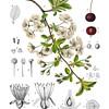 Prunus Cerasus<br /> <br /> Atlas der officinellen Pflanzen : Darstellung und Beschreibung der im Arzneibuche für das Deutsche Reich erwähnten Gewächse / von O.C. Berg und C.F. Schmidt.