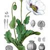 Papaver somniferum<br /> <br /> Atlas der officinellen Pflanzen : Darstellung und Beschreibung der im Arzneibuche für das Deutsche Reich erwähnten Gewächse / von O.C. Berg und C.F. Schmidt.