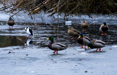 Ducks On Icy Beaver Lake