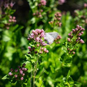California Hairstreak Butterfly
