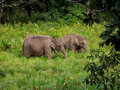Wild Indian Elephants