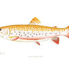 Albino Brook Trout