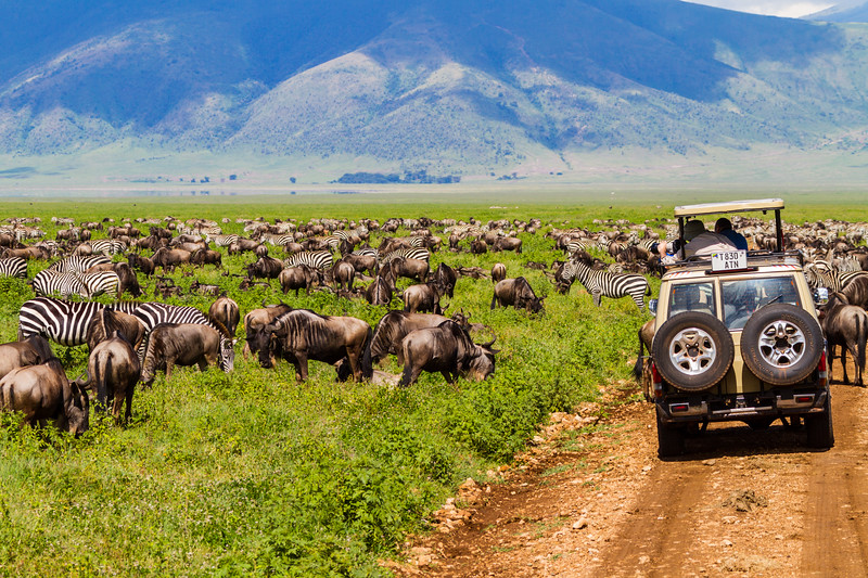 Tourists taking photographs of wildebeests and zebras in national park - East Africa - Tanzania