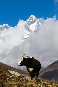 A nak (female yak) crests a hill with beautiful Himalayan peaks shrouded in clouds in the background - Solukhumbu - Nepal