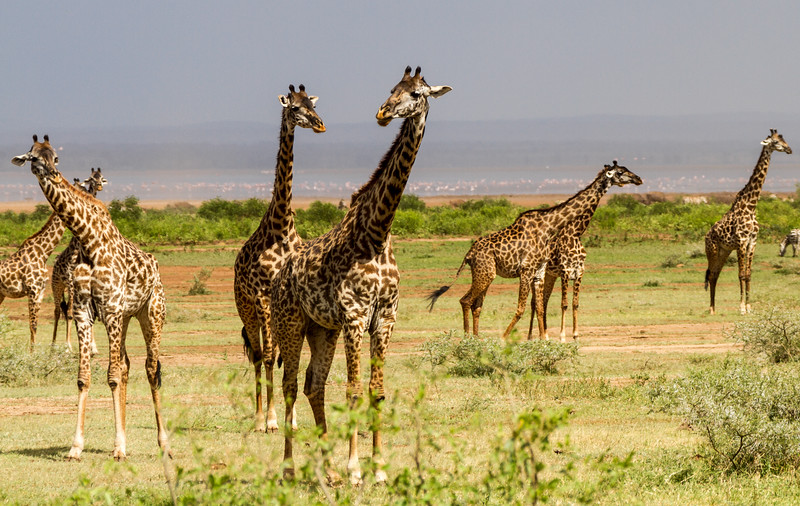 Giraffes at Lake Manyara National Park - East Africa - Tanzania