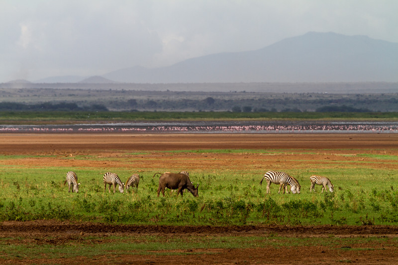 Zebras and cow at Lake Manyara National Park - East Africa - Tanzania