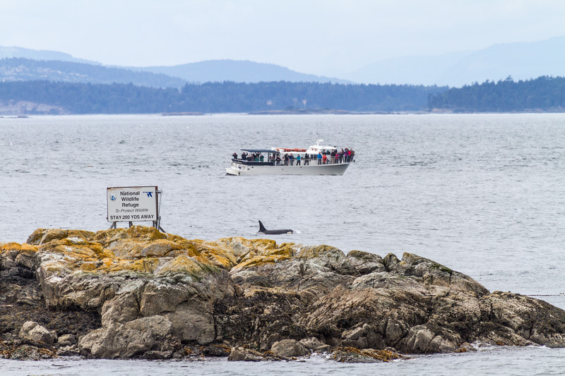 Whale watching boat with passengers on deck viewing a Killer Whale (Orca) off of San Juan Island - Washington - USA