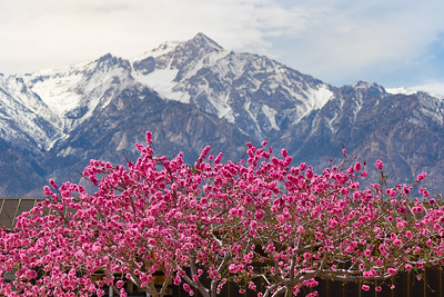 Sierra Nevada mountains behind cherry blossoms in Manzanar, California, USA