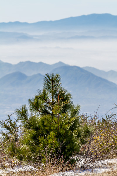 View overlooking San Bernadino Valley and mountain range with pine tree in foreground - California - USA